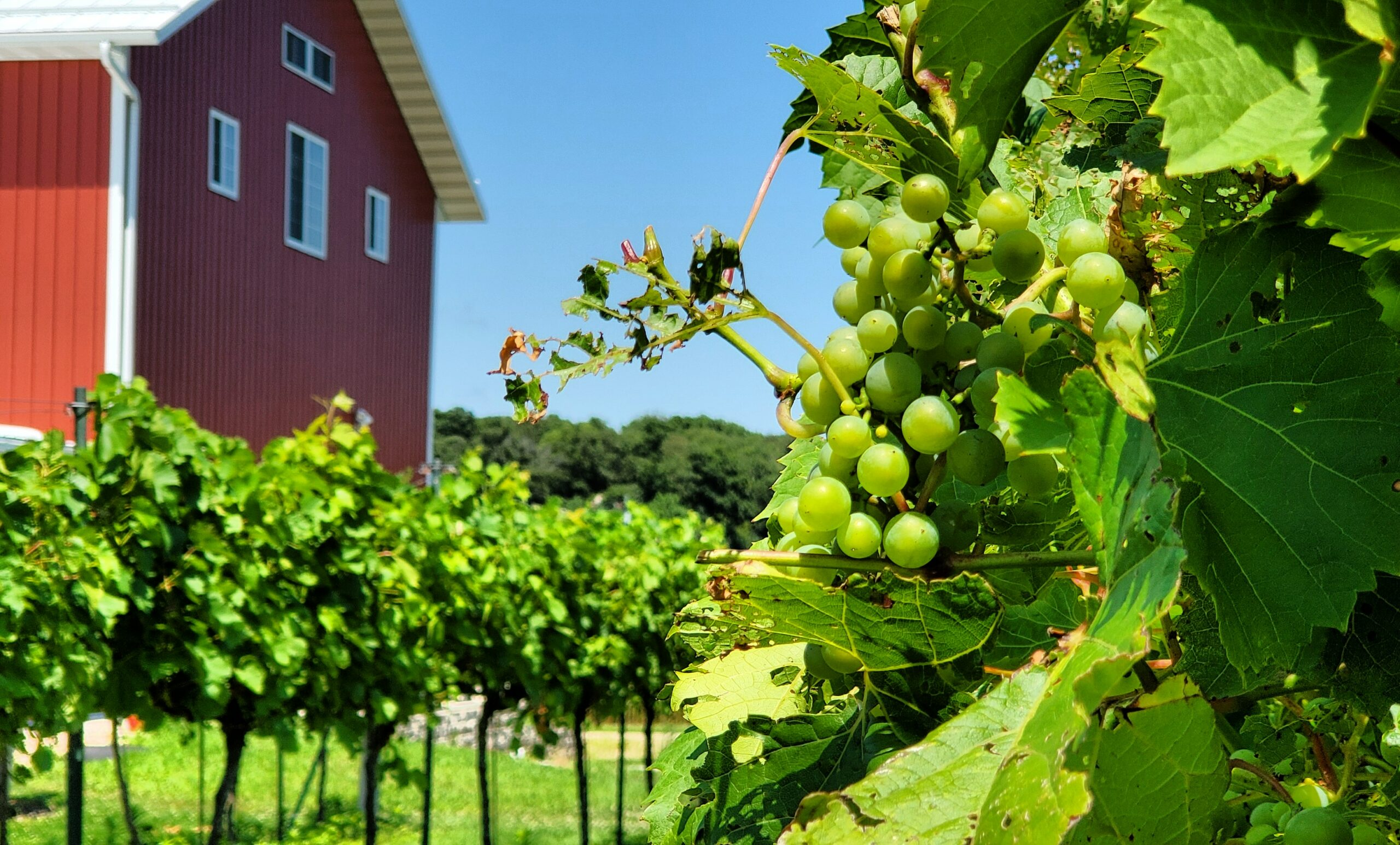 Staller Estate Vines